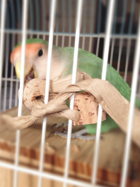 画像:コルクをかじって遊ぶ我が家のインコさん