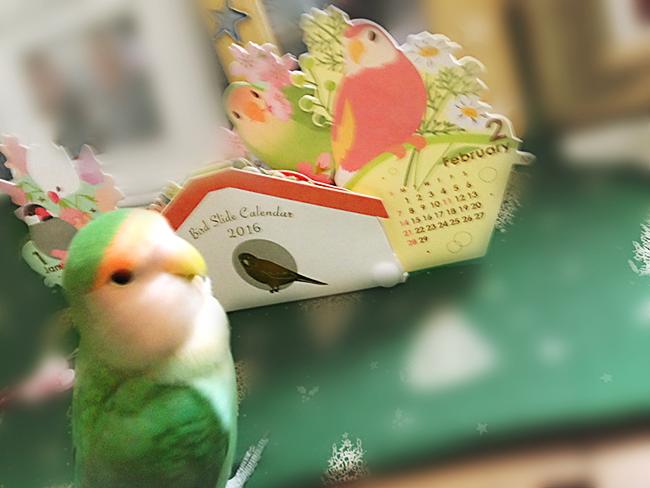 画像:小桜インコめめちゃんと鳥の卓上カレンダー