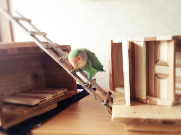 画像:木箱を移動して遊ぶコザクラインコ